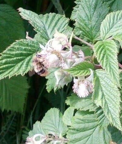 Bees in the Raspberries